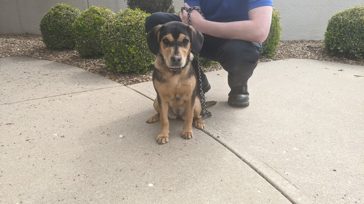 This Beagle mix puppy was found tied to a fence off south Scenic