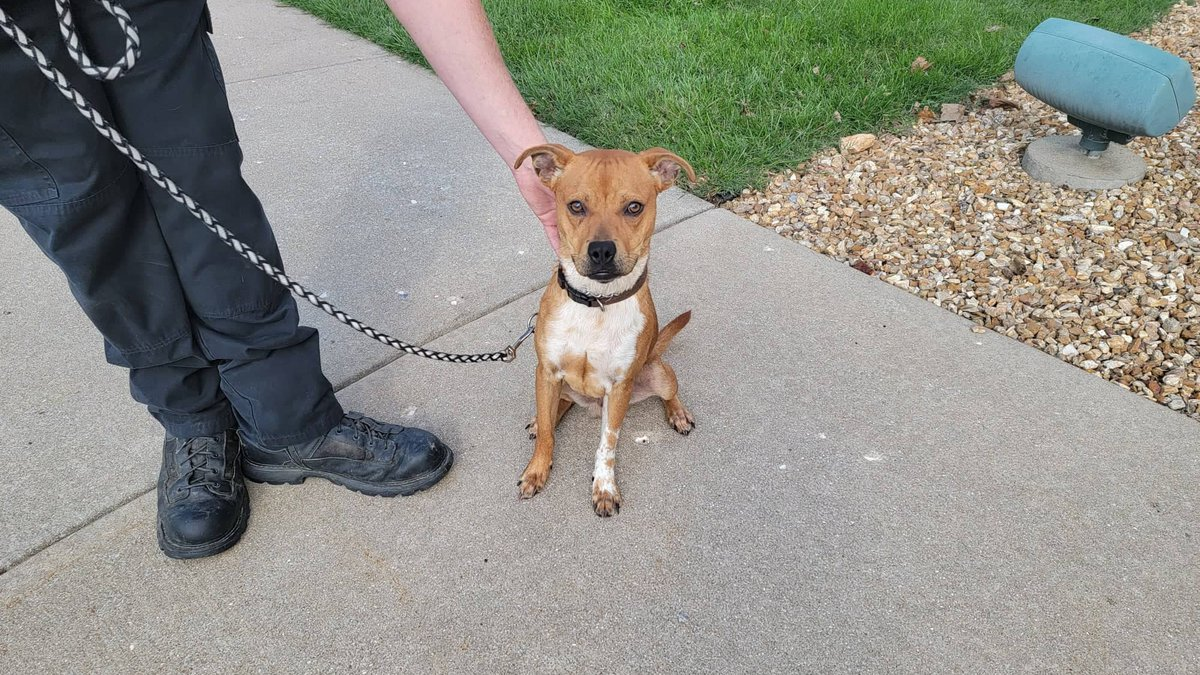 This Beagle/Boxer mix was found on west South Avenue in Springfield