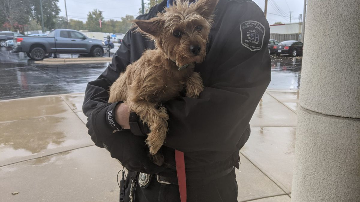 Female Yorkie mix found with a turquoise collar on.