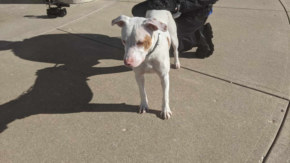 This Pit mix puppy was found with a black collar at Atlantic and Ramsey in Springfield.