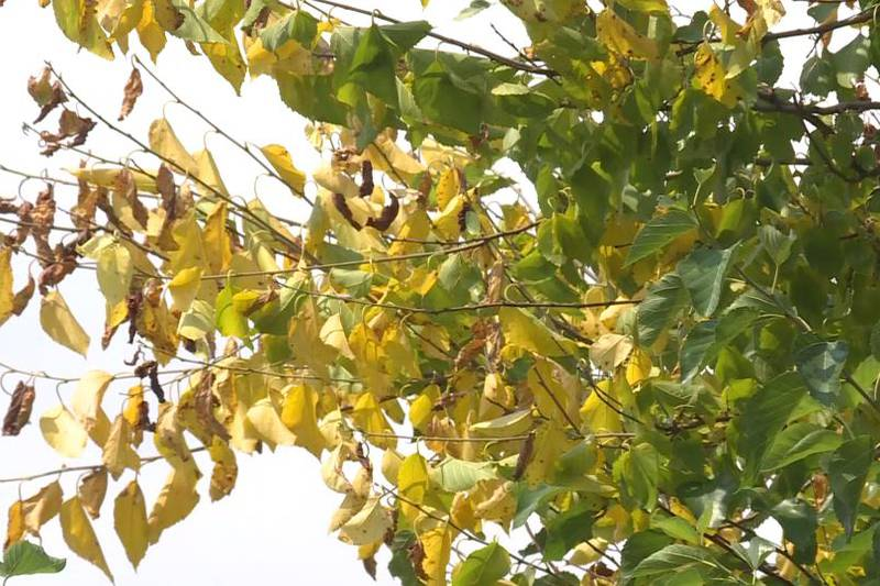 Trees dying or turning fall colors amid heat and insects