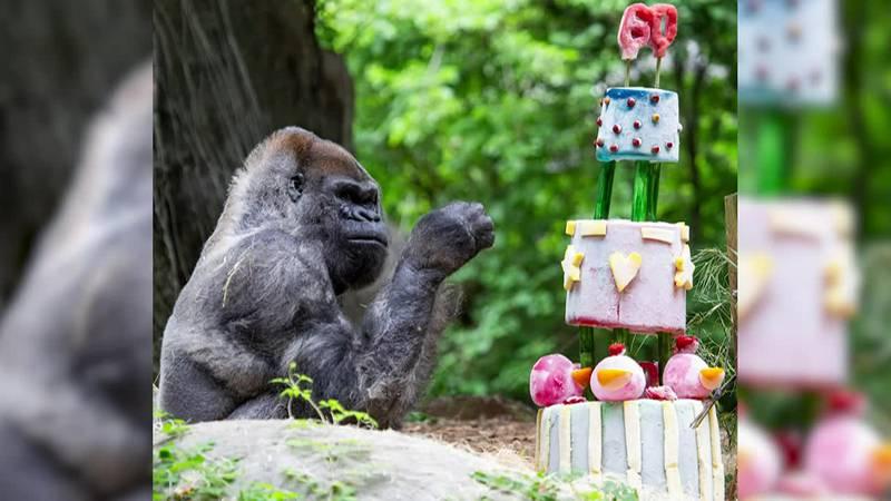 Zoo Atlanta celebrated Ozzie's 60th birthday Sunday.