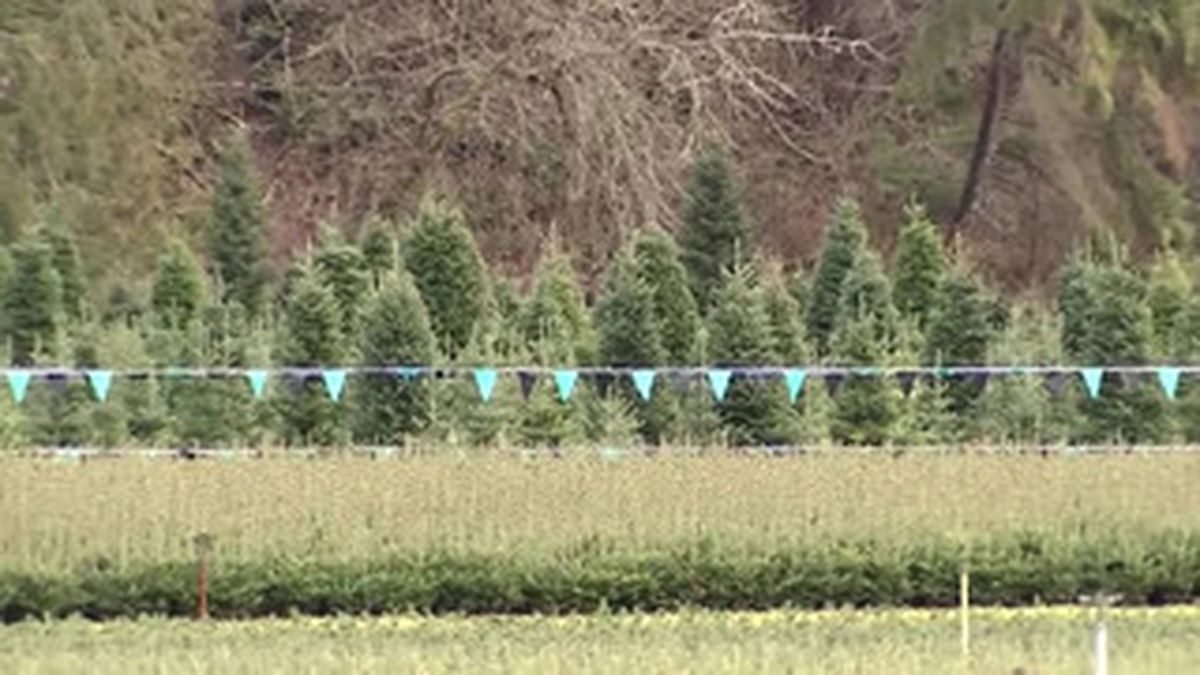 The availability of real Christmas trees is tight across the United States. (Source: CNN)