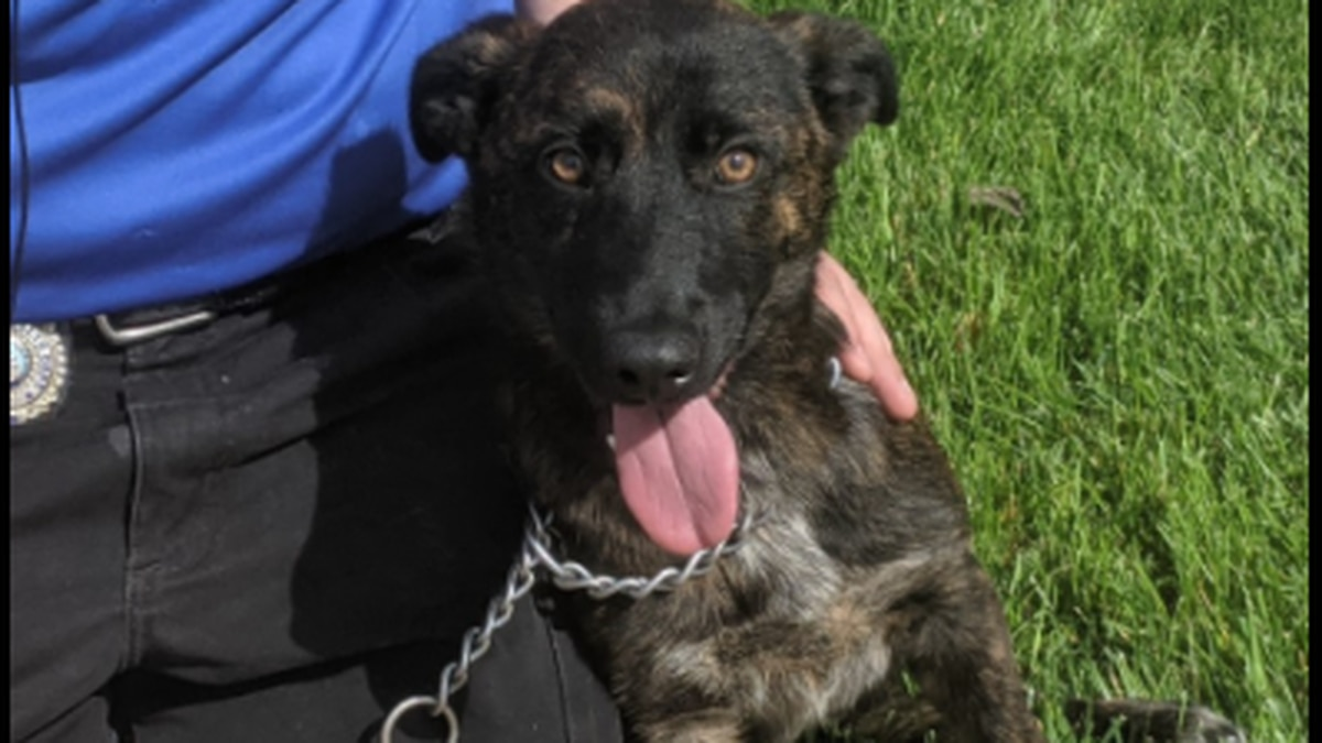 Fourth month old lost German Shepherd mix