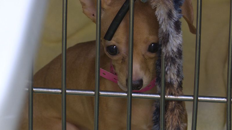 Area animal rescue organizations are helping take care of the sick animals. Some of the dogs...