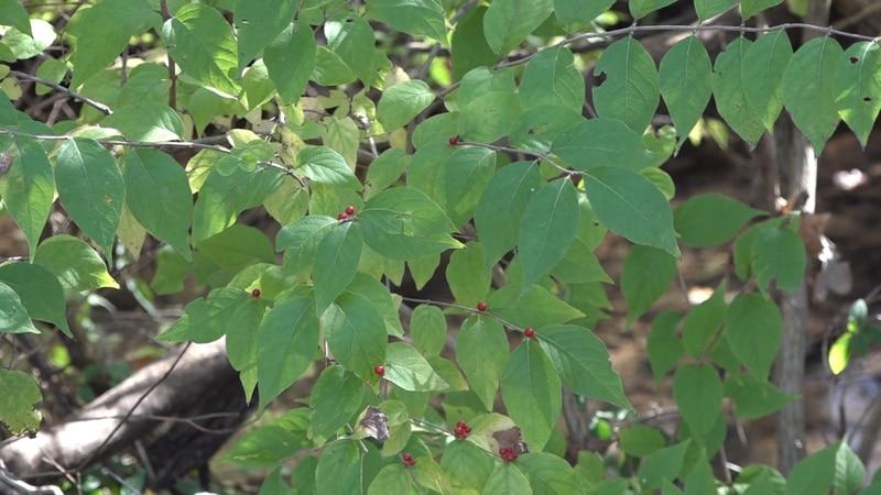 Beware of invasive shrub growing in the Ozarks