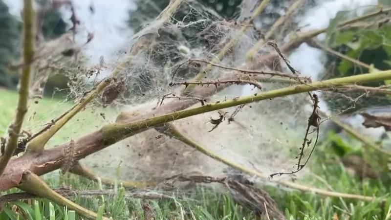 Taking care of webworms