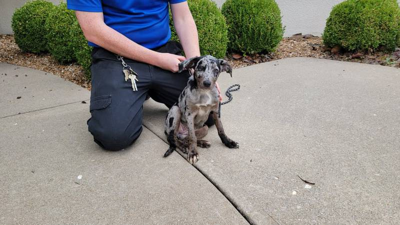 This Catahoula mix puppy was found at Fort and Sunshine