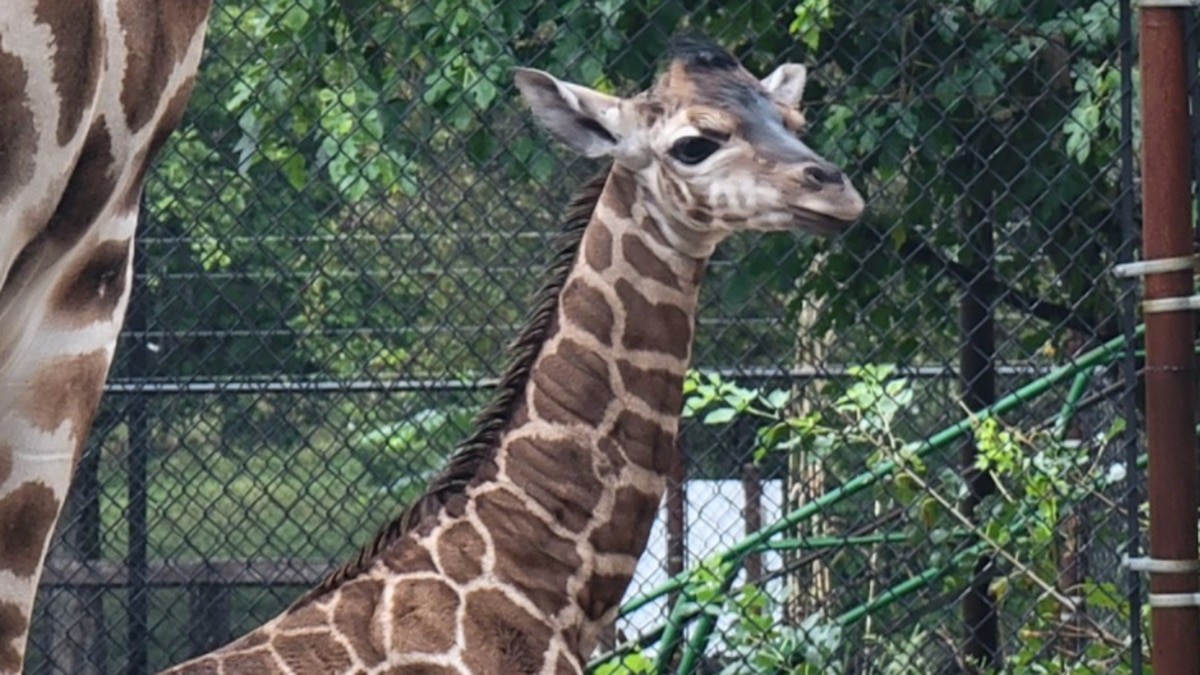 Zookeepers say Emma's pregnancy was unexpected and considered high risk.