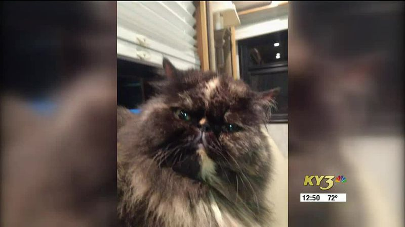 The search for a missing Persian cat in Branson