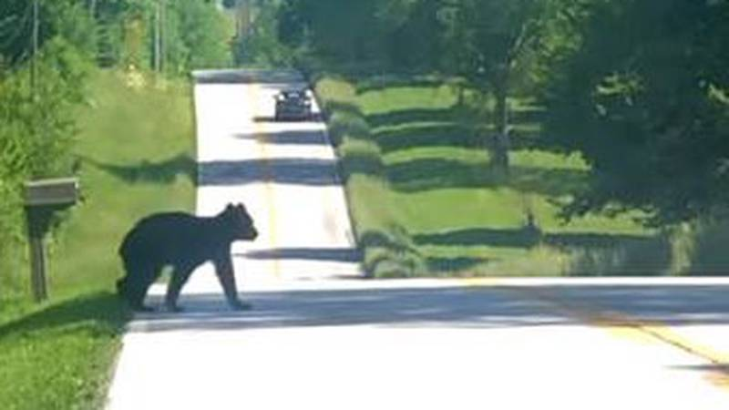 A black bear spent Thursday morning wandering around the Rogersville area, a sight that some...