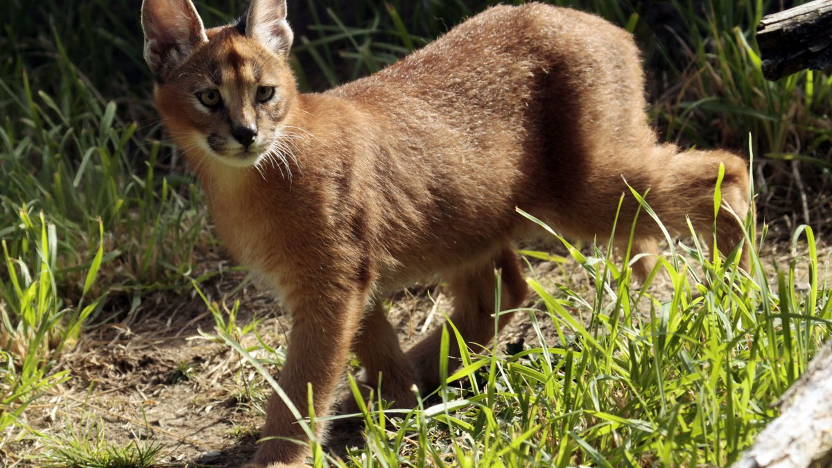 Male caracal kitten Mkuze explores his new habitat at the Oregon Zoo in Portland, Ore....