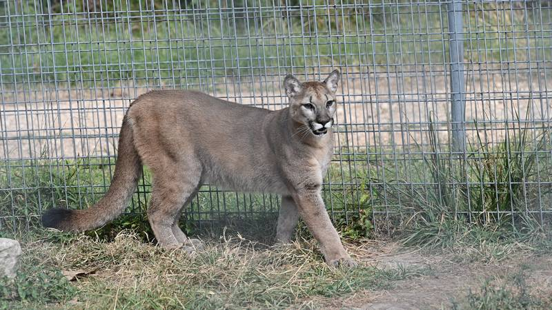Sasha will soon be with other cougars at a sanctuary in Arkansas after being rescued from an...
