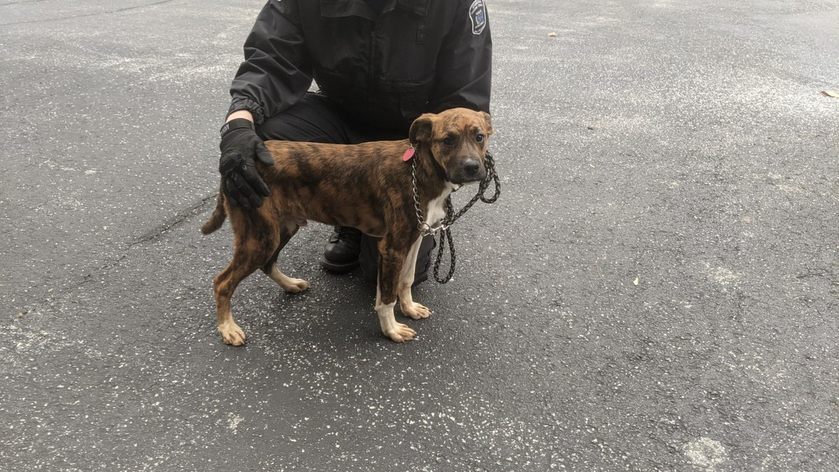 This lost Boxer/Hound mix puppy is about six months old