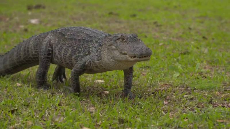 Disney has had 250 alligators removed from its properties in Florida over the last five years...