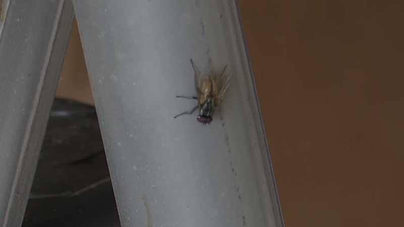 The pandemic may have boosted the fly population