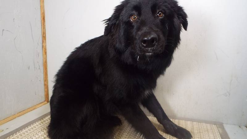 This Flat coat Retriever was found on Price Street in Springfield