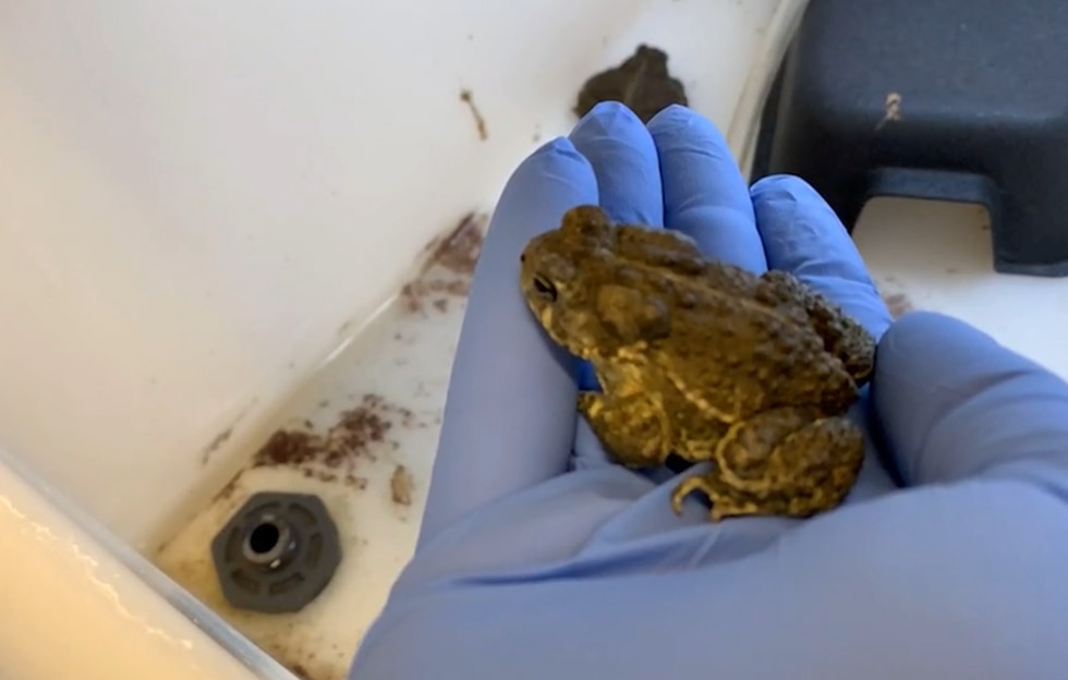 The National Mississippi River Museum and Aquarium cares for the Wyoming toad.
