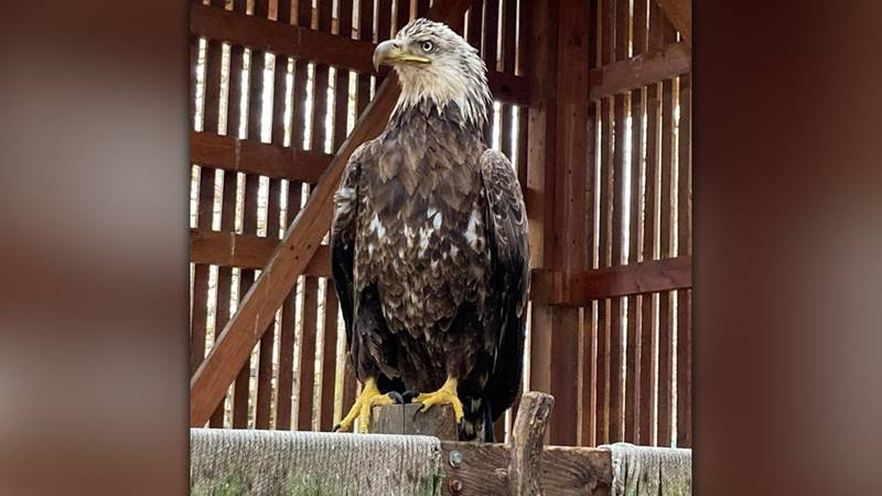 Dickerson Park Zoo will release a bald eagle named Patriot Friday after a miraculous recovery...