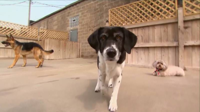 Kennel cough, an upper respiratory infection in dogs is going around here in the Ozarks.