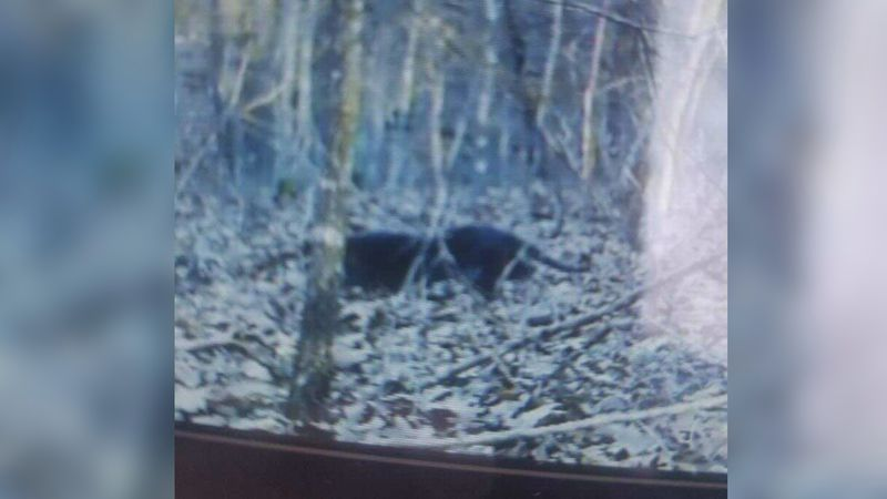A mysterious black animal with a long tail  spotted several times near Christian County.