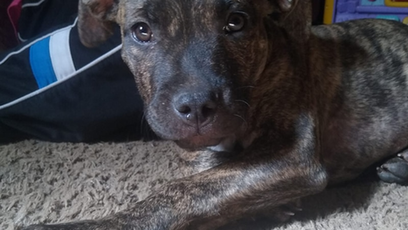 Missing Pitbull puppy has neighbors concerned about dog thieves