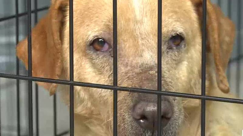 The Polk County Humane Society has rescued nearly half of an estimated 20 dogs that have been...