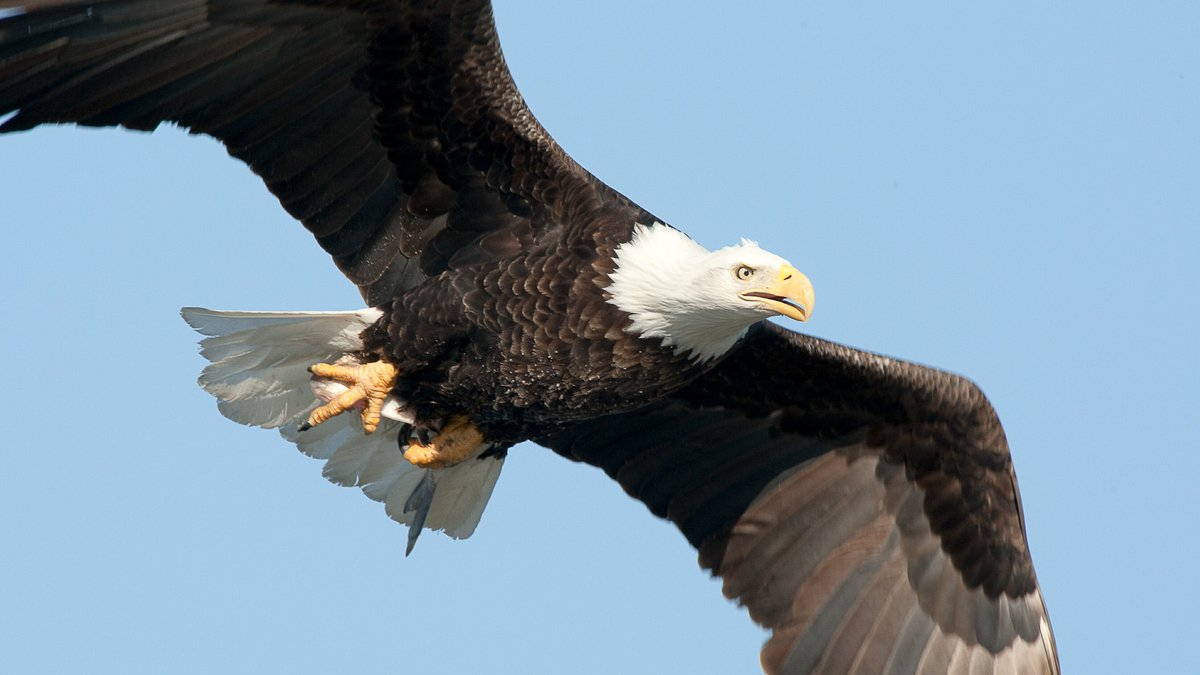 A Bald Eagle takes a flight early in a morning in searching for fish along Mississippi river...